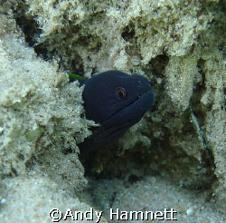 This tiny moray was photographed in Safaga, Egypt. It&#180;s h... by Andy Hamnett 